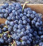 Blue black grape- grown in Bordeaux and Loire